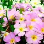 Игликата - пъстър пролетен килим